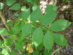 poison ivy oak and sumac center for environmental communication