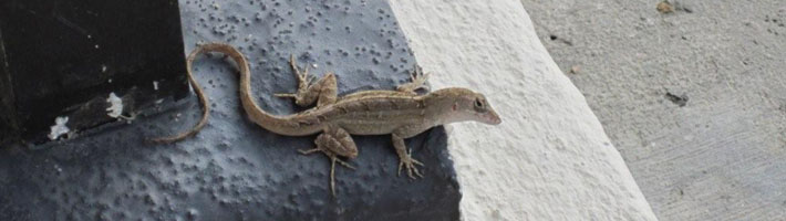Brown anole in St. Tammany Parish