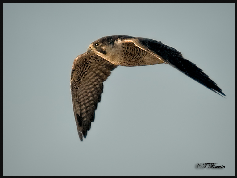 The Loyola Peregrine Falcons Center For Environmental Communication Loyola University New Orleans