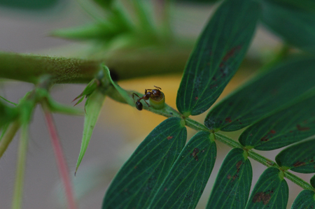 Ant at extrafloral gland on Cassia