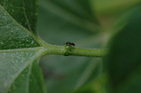Ant at extrafloral gland on Passiflora